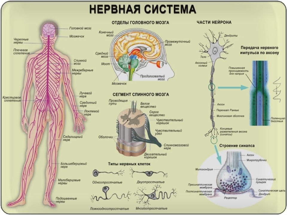 Нервная система в.т. мышц. Мышечная память.