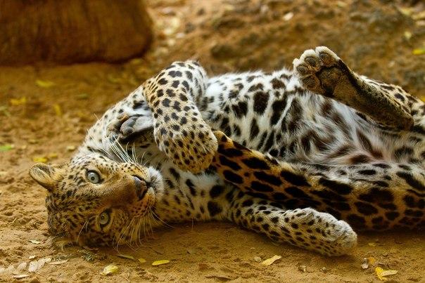 Леопард в зоопарке города Хайфа, Израиль. Автор фото: Артур Денисов. Доброй ночи!