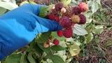Ягоды ремонтантной малины в конце октября.