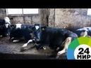 Золотой теленок фермеры в Кыргызстане стали получать газ из навоза МИР 24