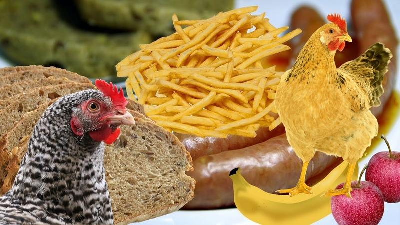 Une poule mange quoi vraiment? Parfois surprenant.