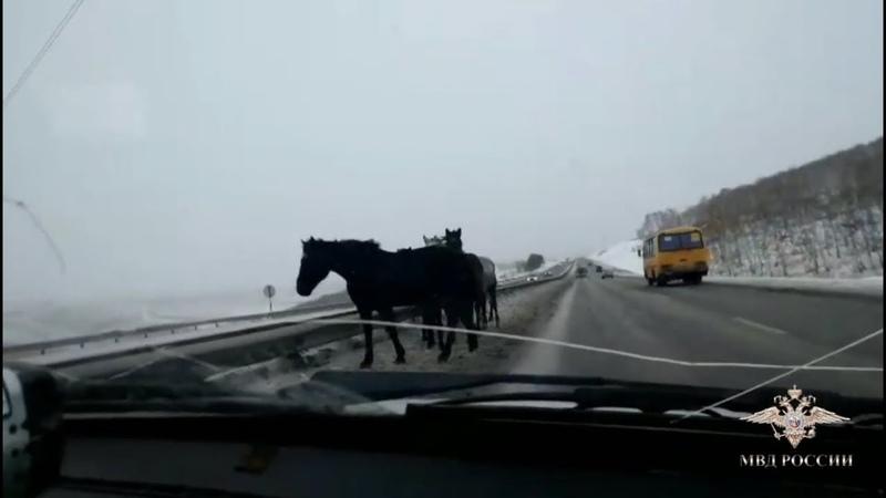 Красноярские полицейские спасли вышедших на трассу лошадей