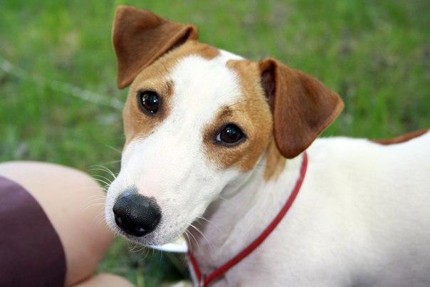 джек рассел терьер аллергия у собак