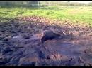 Питбуль валяется в грязи