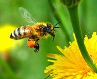 Лечение пыльцой пчел