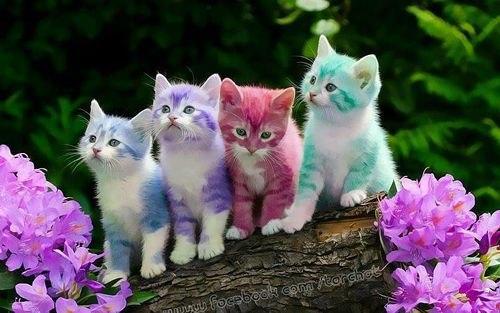 купить шотландского котенка в костроме.