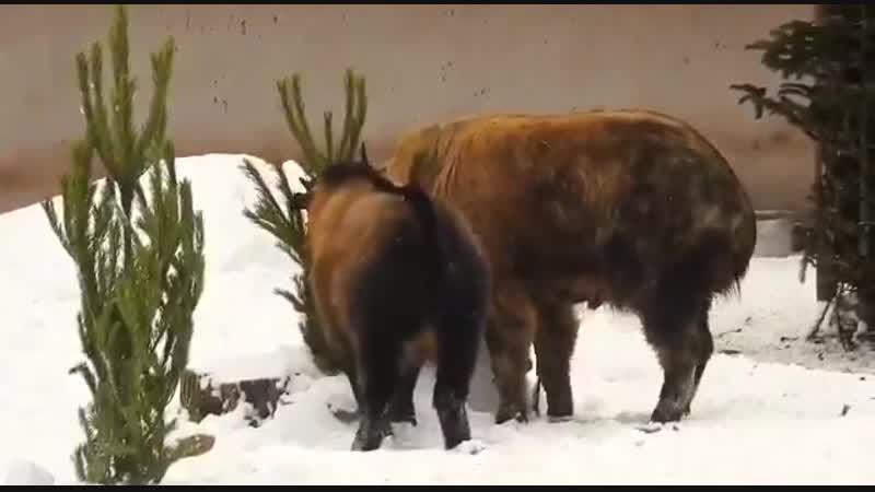 Московский зоопарк использует сданные елки для кормления животных