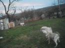 Собачьи бои смесь питбуль и алабай