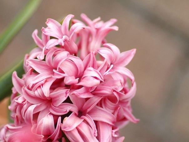 Подскажите пожалуйста как этот цветок называется, они еще есть и фиолетового цвета.