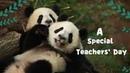 【A Special Teachers' Day】Let Me Teach The Naughty Panda Kids  | iPanda