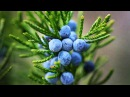 Можжевельник Лечебные и полезные свойства состав вред и противопоказания можжевельника
