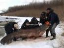 Ловля сома - как поймали сома 114 кг на спиннинг