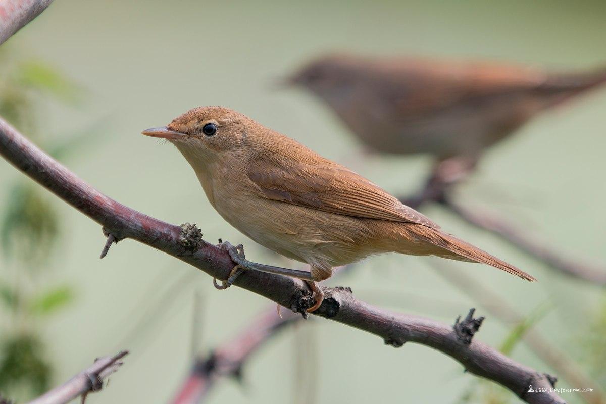 птицы Челябинска, камышевка