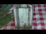 настойка на личинках восковой моли