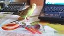 Волнистый попугайчик гуляет смотрите как
