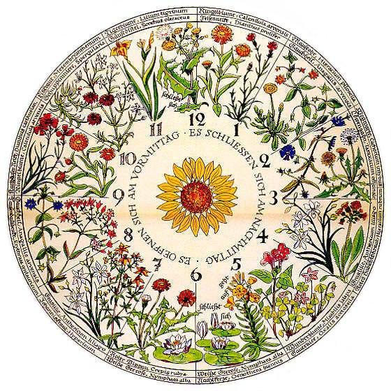 Цветочные часы. Схема Линнея.
