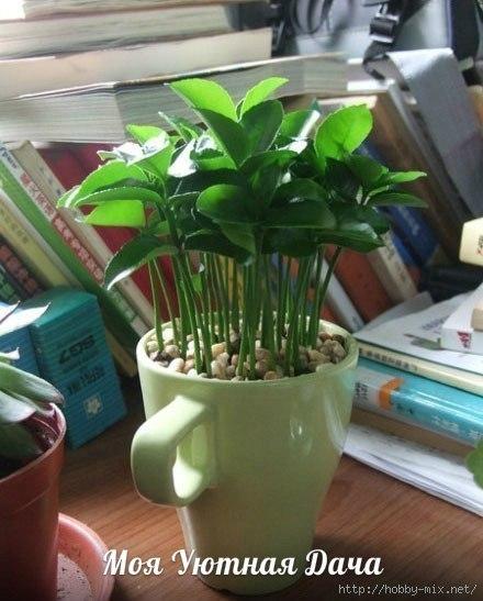 Зеленый островок или как вырастить грейпфрут (лимон) в чашке Создайте маленький зеленый уголок у себя на столе. Эта пышная, выросшая в обычной чашке зелень, будет радовать ваш взгляд, очистит