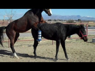 HORSE  BREEDING - PART 2 - NATURAL- BREEDING HORSE - HORSE MATING -- THOROUGHBREDS