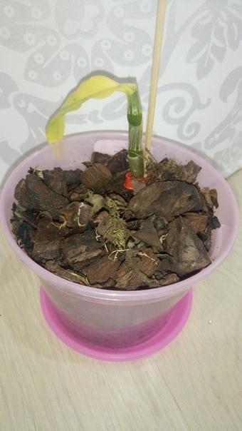 здравствуйте. скажите пожалуйста что делать с дендробиумами приносила домой зеленые, и с листвой. со временем что с одного, то с другого пожелтели и опали листья. будут ли они дальше расти уже