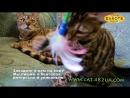 Будни питомника бенгальской кошки Dakota Gold - две бенгальские кошки на кресле - наблюдаем.