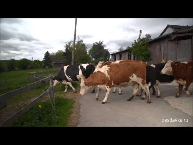 Фото жопы коровы 25 фотография
