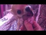 Моя собака Несса Чихуахуа