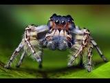 Охота паука-скакуна, замедленные съемки. Реально крутой малыш!