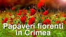 Papaveri fiorenti in Crimea