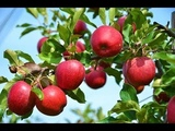 Наливное яблочко... Людмила Иванова 13, Валентина Зверева. Клип - Ирина Жукова-Каменских.
