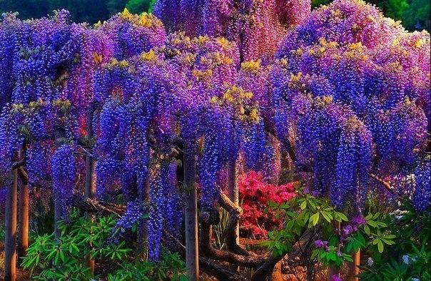 Сад глицинии, Вайнхайм, Германия