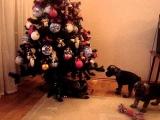 Щенки миттельшнауцера и новогодняя елка. Часть-1.