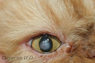 Произведена конъюнктивальная пластика по закрытию дефекта.Прошло 3 месяца.(смотри фото №6).Кота ничего не беспокоит,глаз полностью восстановился.