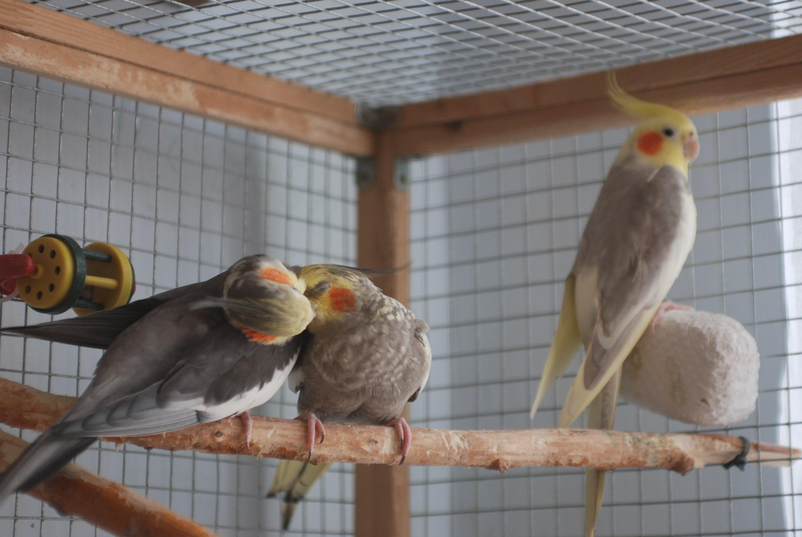Попугаи корелла: особенности содержания в домашних условиях 22