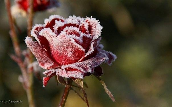Однажды человек посадил розу, искренне за ней ухаживал, поливал ее. И прежде чем она расцвела, он осмотрел её. Он увидел бутон, который скоро должен был раскрыться, также он заметил на стебле шипы, и подумал: «Как из растения с множеством колючих шипов может вырасти красивый цветок?» Опечаленный этой мыслью, он забросил поливать розу, и цветок погиб непосредственно перед тем как расцвести. Внутри каждой души есть Роза. Все божественные качества установлены в нас с рождения, они растут посреди…