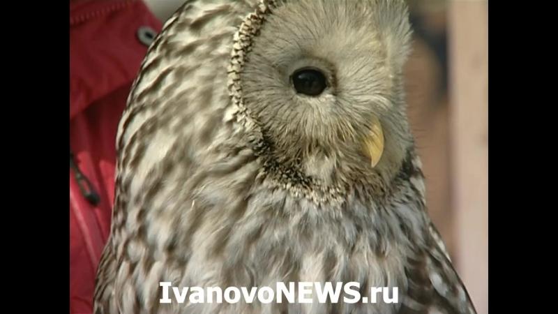 Совы в Иванове