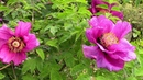 Посадите эти многолетние растения в саду. В мае ваш сад будет в цвету! Название растений .