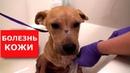 Бездомные щенки больны демодекозом.Ветеринарное ранчо