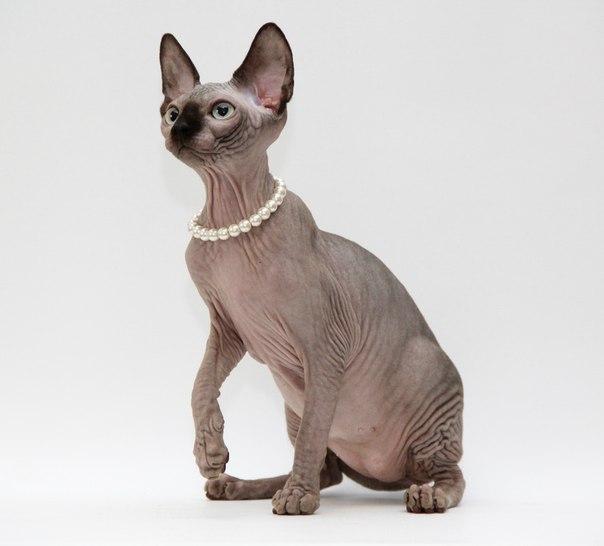 Продаются котята канадского сфинкса редких окрасов шоколадный минк и