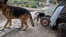 А это наши собаки. Так живут в деревне наши любимые животные - немка, немец и подобранка