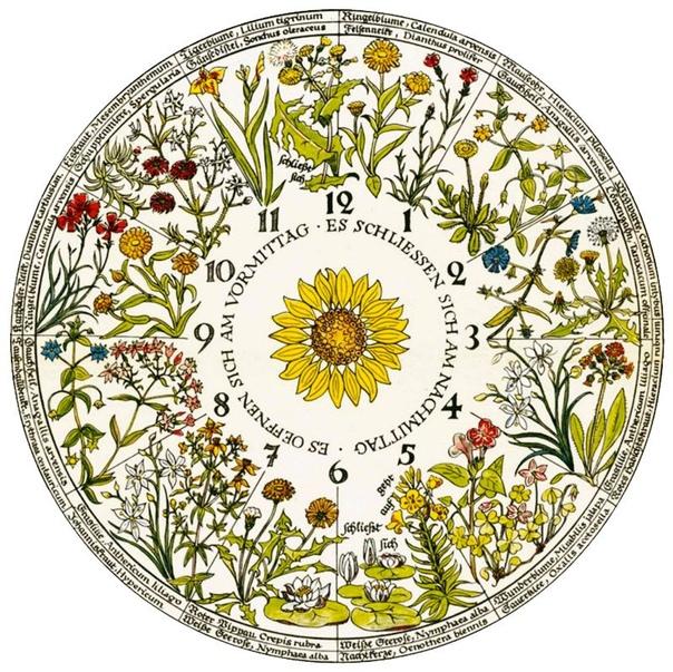 Цветочные часы Карла Линней