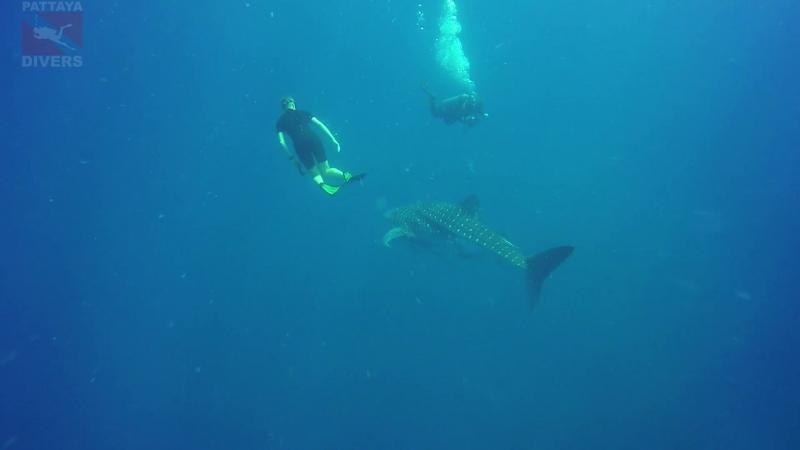 Фридайвер и скуба дайвер провожают китовую акулу с дайвсайта Chang wreck Дайвинг в Таиланде