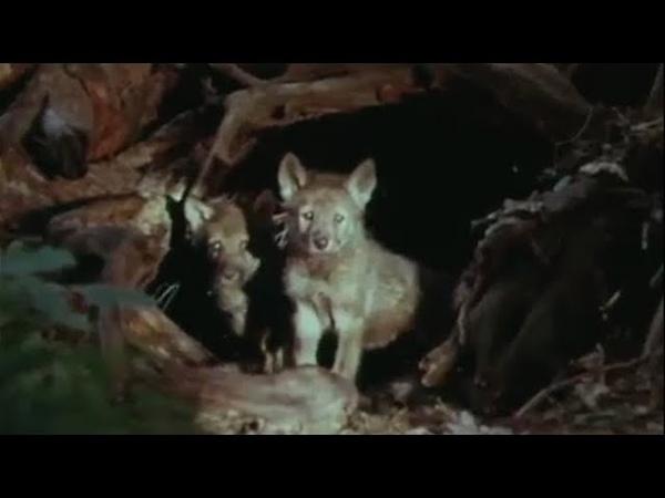 Дрессировщики. 2 фильм. Приключения медвежонка (Киноальманах, 1975-1979) | Золотая коллекция