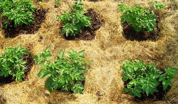 Одним из заблуждений земледельцев является мнение о том, что почву нужно обязательно рыхлить. Во многих публикациях встречается рекомендация: содержать почву во влажном и рыхлом состоянии.
