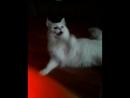 моя любимая кошка похожа на собаку