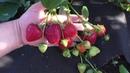 ВИБРАНТ ранний сорт КДС с бордовой ягодой