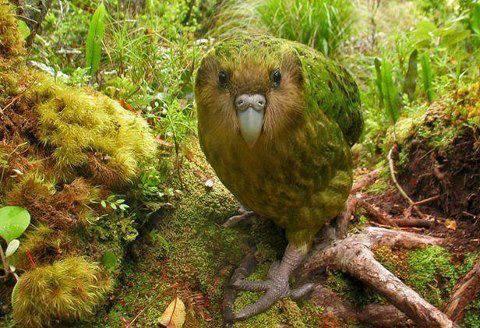 Какапо (или совиный попугай)