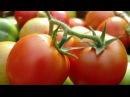 "Выращивание томатов в теплице с препаратами компании ""НЭСТ М"""