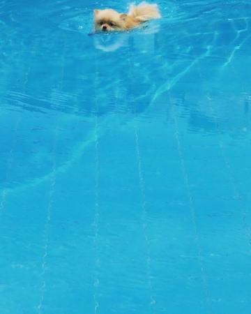 "Para The Pom on Instagram ""İlk defa yüzdüm ben 🙈🐶🙂 first time swimming in the pool 🏊♂️😎 pool sun summer blue pomeranian instagood instadog..."