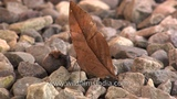 Not a fallen leaf but the Orange Oakleaf Butterfly - master of camouflage