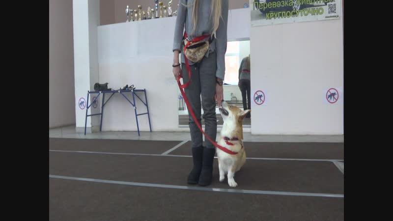 Екатерина и вельш корги пемброк Виконт Тренировка ОКД обучение команде Ко мне парковка Тольятти 9 декабря 2018